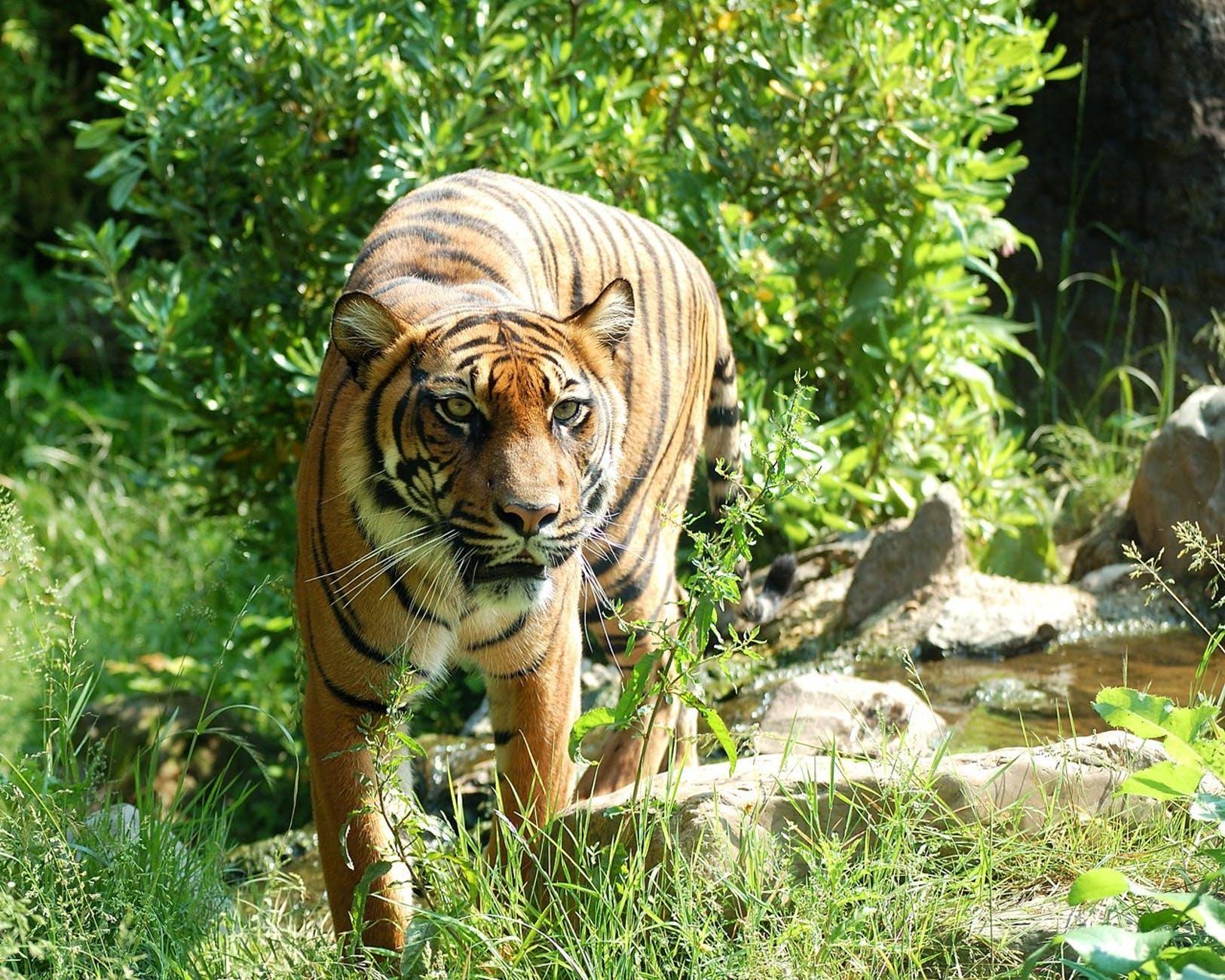 tiger-sumatran-tiger-cat-predator-87415.jpeg