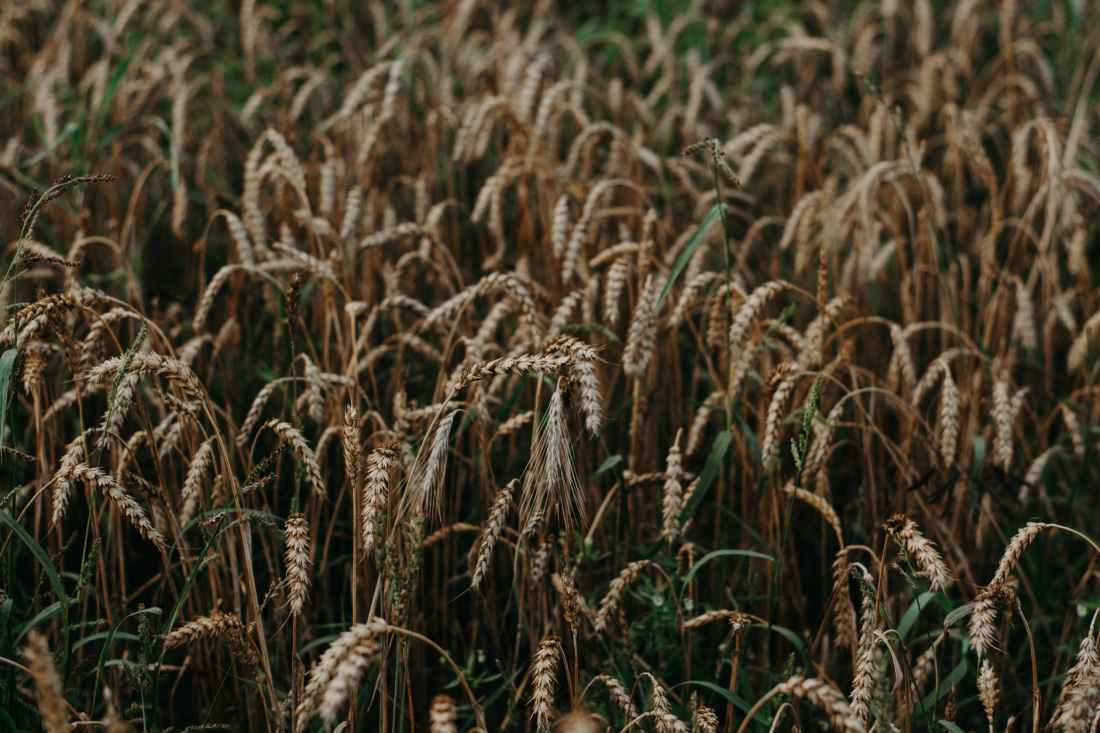 closeup photography of brown wheat field