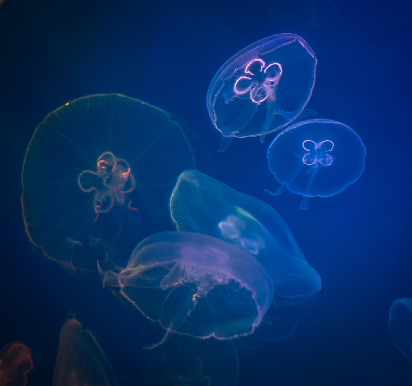 five box jellyfishes