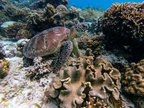 brown turtle in underwater photography